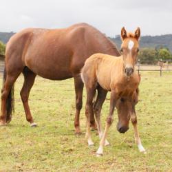 Ofrecemos saltos de neutros reproductores grandes exponentes del caballo carillo colombiano